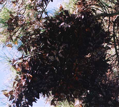 Clump of Monarch Butterflies