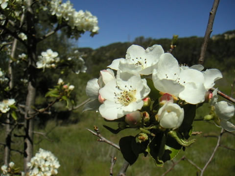 Apple Blossom at Forbush Flat