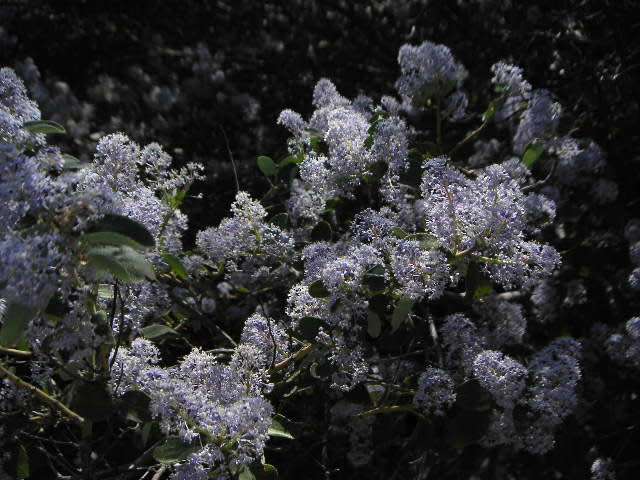 Mountain Lilac or Spiny ceanothus