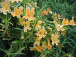 Bush or Sticky Monkey-flower