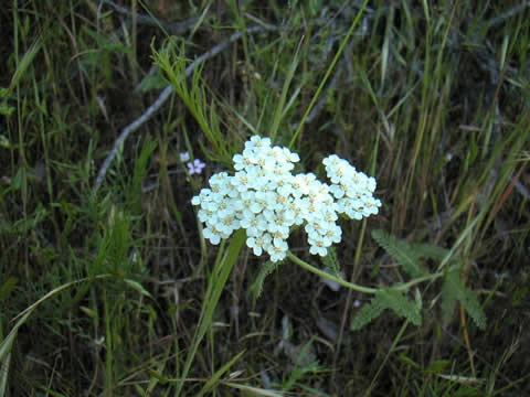 Common or White Yarrow